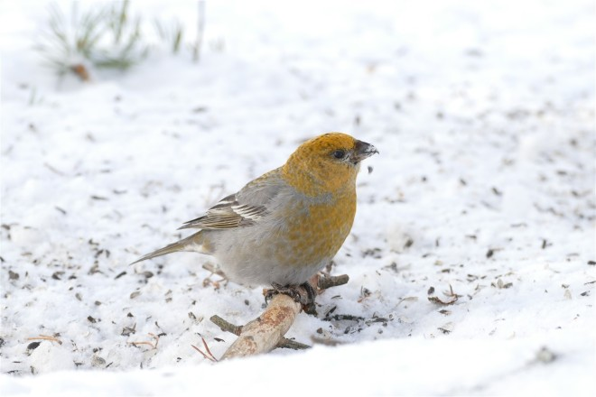 pinegrosbeak
