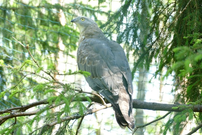 honey-buzzard