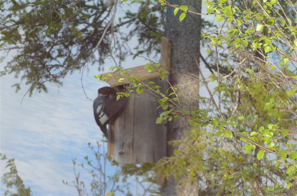 goldeneye in nestbox