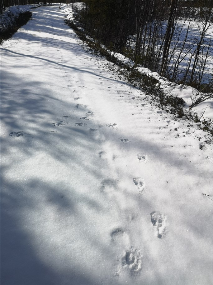 reindeer and brown bear tracks